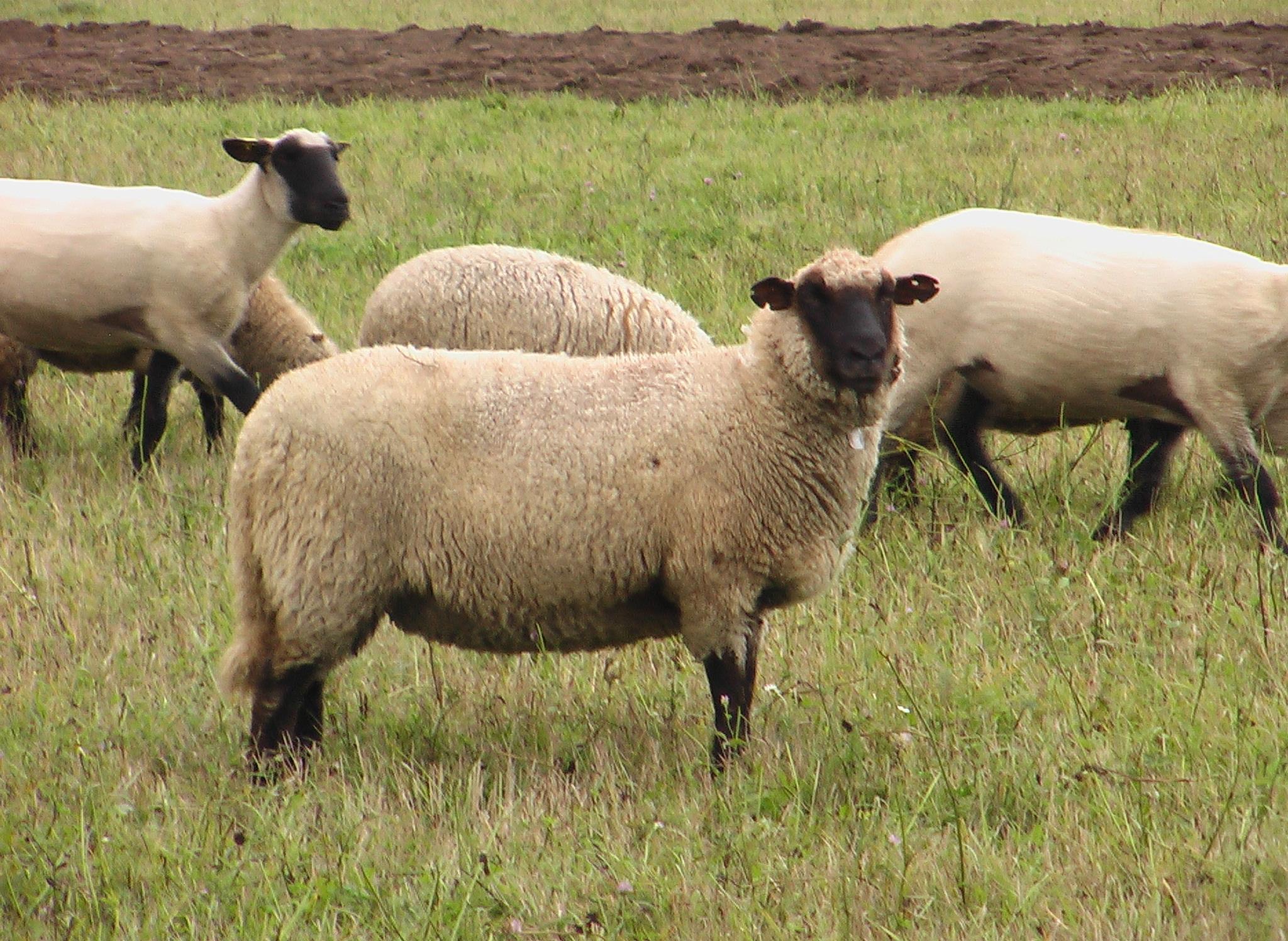 Lietuvos juodgalvės avys