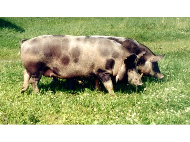 Lietuvos vietinės kiaulės