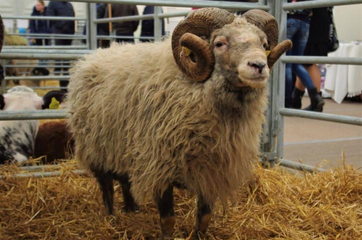 Vietinės šiurkščiavilnės avys