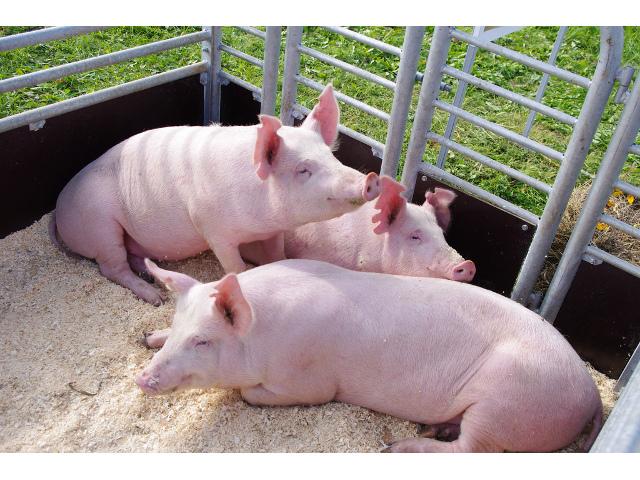 Lietuvos baltosios kiaulės